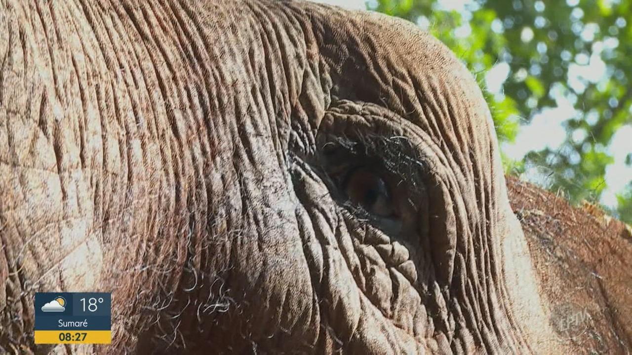 Elefanta passa por adaptação em bosque de Ribeirão Preto antes de ser levada a santuário