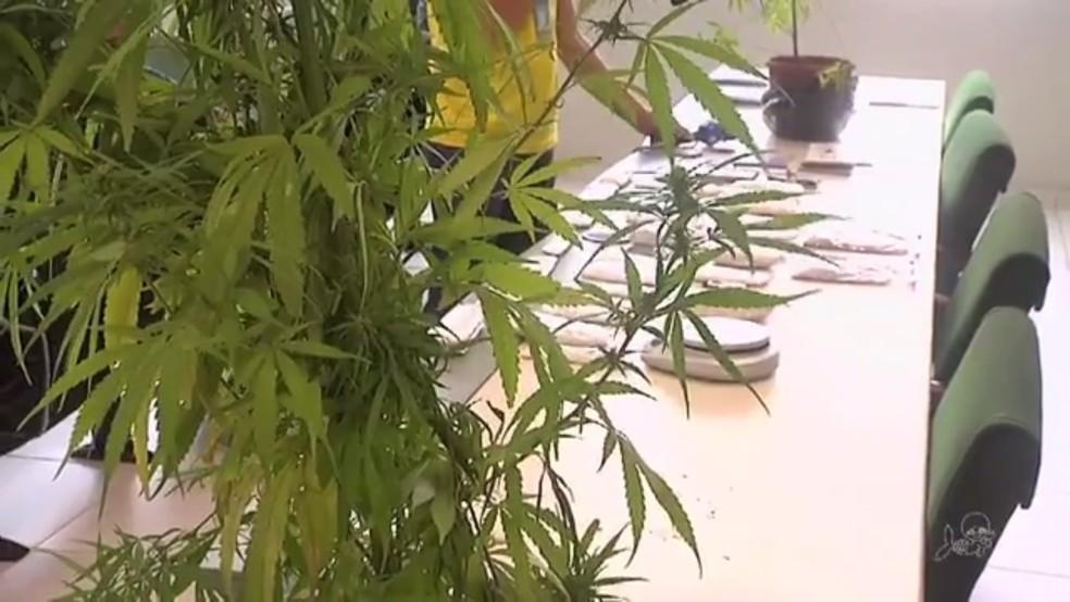 Pés de maconha foram apreendidas na casa do acusado e eram usada para produção de supermaconha (Foto: TV Verdes Mares/Reprodução)