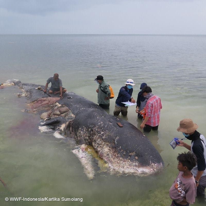 Especialistas não conseguiram determinar se a causa da morte do cachalote foi realmente o plástico (Foto: WWF-Indonesia/Kartika Sumolang)
