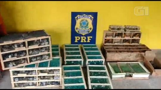 Polícia apreende 500 aves silvestres escondidas em carro na BR-101, no ES