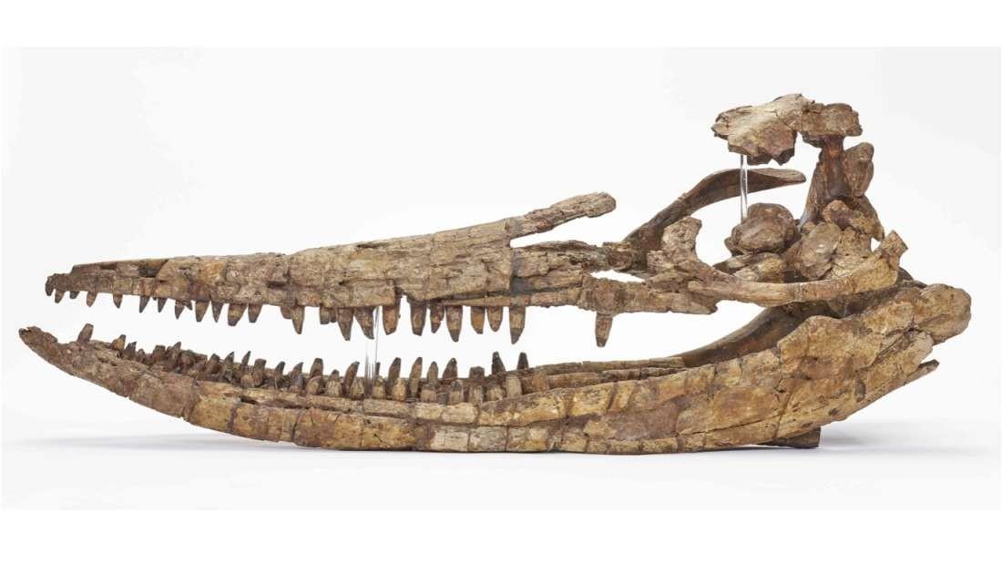 Crânio de criatura jurássica (Foto: Birmingham Science Museum)