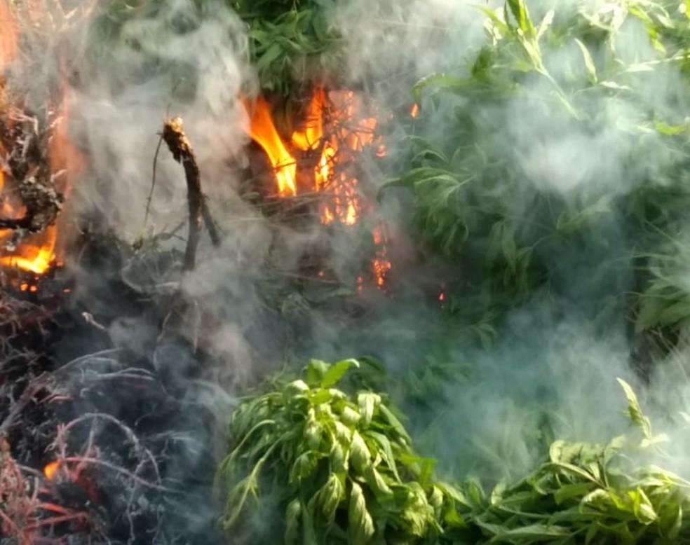 Quase 3 mil pés de maconha são erradicados em fazenda no norte da Bahia  — Foto: PM/Divulgação