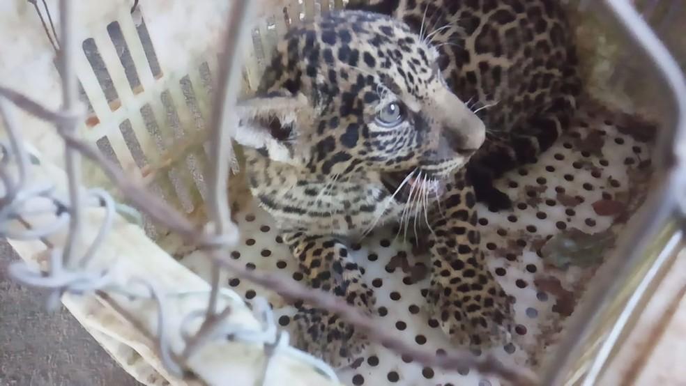 Bicho deve ser devolvido ao habitat após crescimento (Foto: Corpo de Bombeiros/Divulgação)