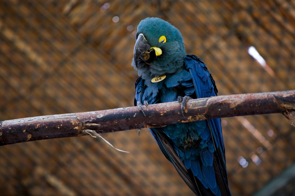 Uma arara-azul-de-lear é vista em local onde recebe tratamento e é treinada para ser reintroduzida com segurança à natureza — Foto: Marcelo Brandt/G1