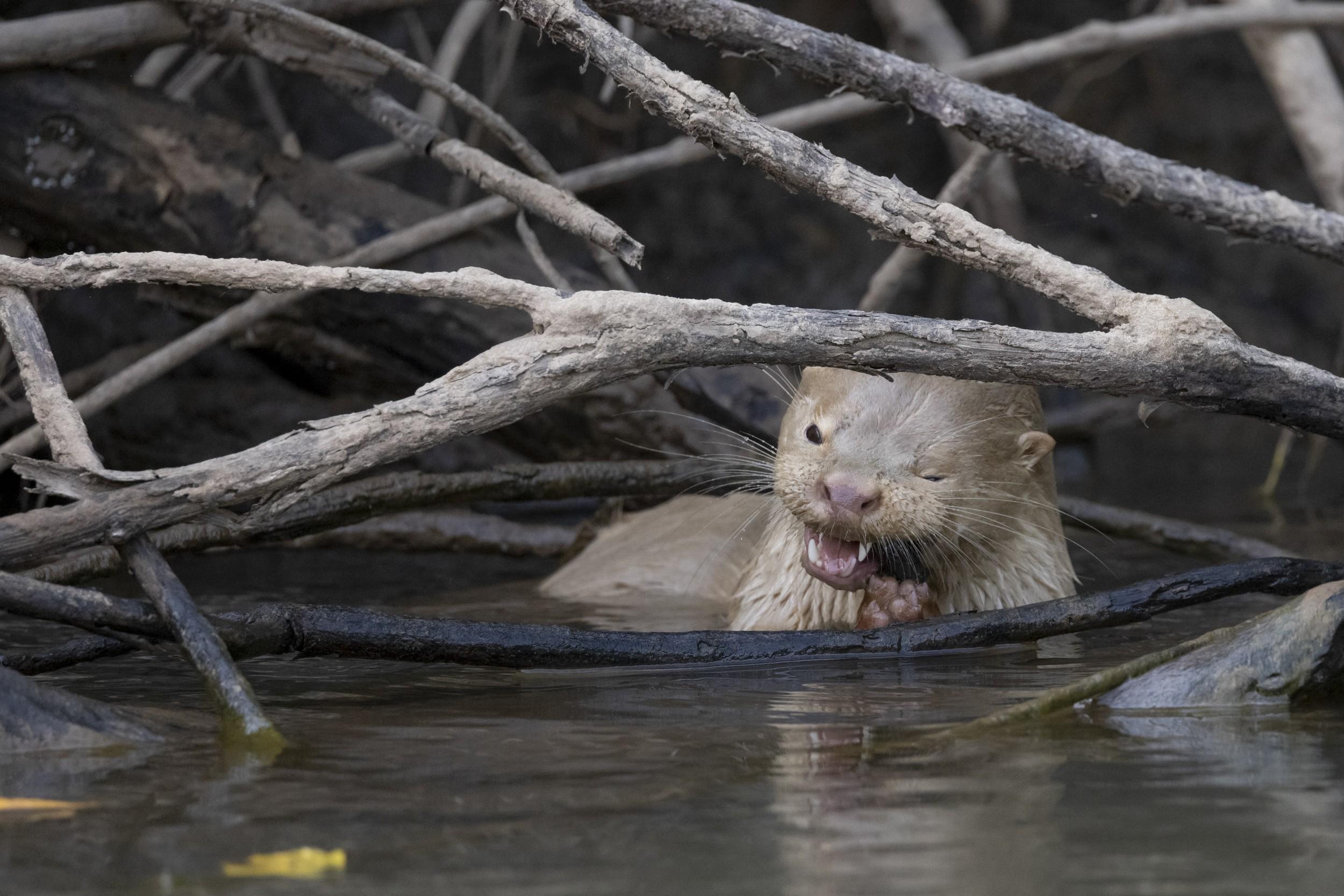 Grupo de fotógrafos do Oeste Paulista faz raro registro de lontra com leucismo durante expedição pelo Pantanal; veja VÍDEO thumbnail