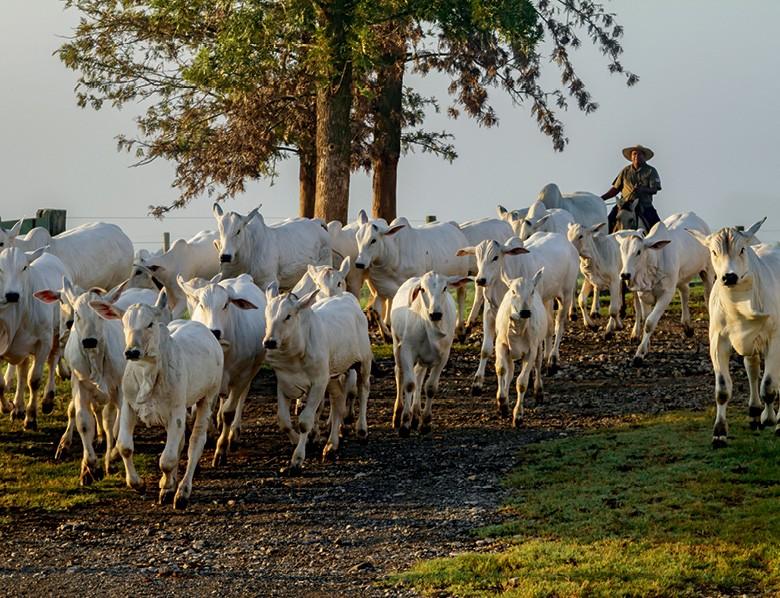 Pecuária da tela do celular - Manejo do gado na Fazenda  Arte Real (Foto: Divulgação)