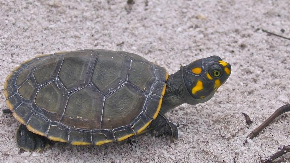 Conhecida como tartaruga-da-amazônia, a 'Podocnemis expansa' tem sobrevivido: 70 mil filhos nascem às margens do Rio Juruá — Foto: Camila Ferrara