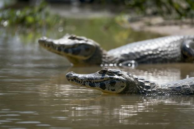 O jacaré-do-Pantanal, como o nome diz, tem sua morada nas águas (Foto: Divulgação)