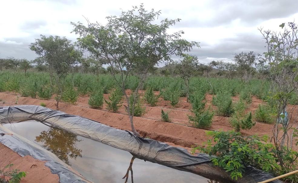 Uma das plantações encontradas pela polícia, no norte da Bahia.  — Foto: divulgação/SSP-BA