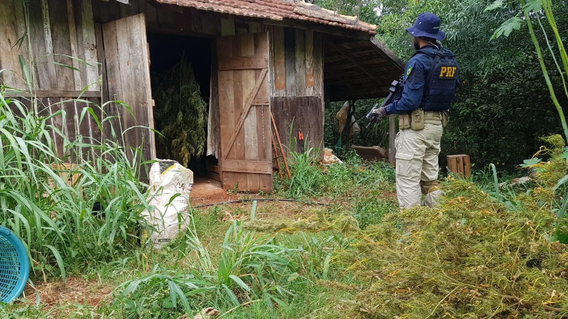 PRF descobre galpão de plantação de maconha em Vera Cruz do Oeste; três homens são presos