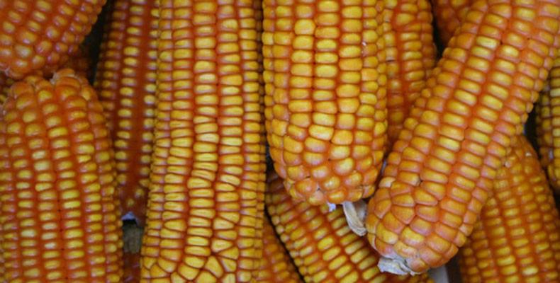 pesquisa_alimento_fortificado_milho (Foto: Divulgação/Embrapa)