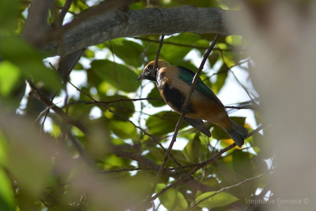 Saíra-amarela (Tangara cayana) — Foto: Stephanie Fonseca/G1
