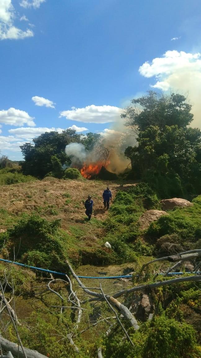 Mais de 8.500 pés de maconha são incinerados após operação em ilhas na Zona Rural de Orocó, PE - Notícias - Plantão Diário
