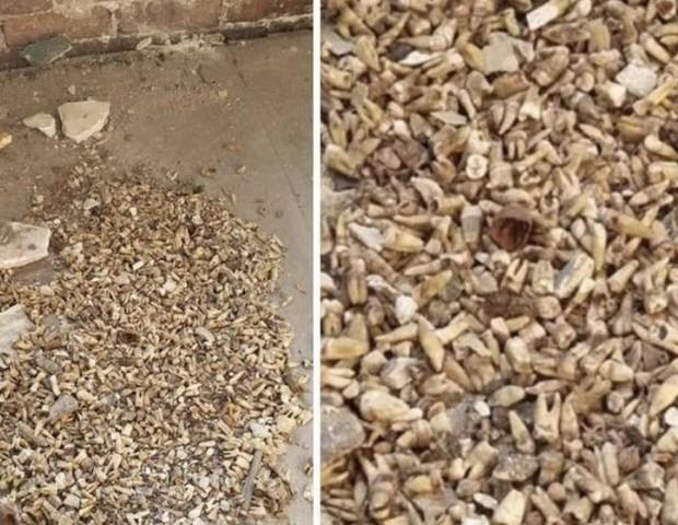 Mais de mil dentes foram encontrados durante uma reforma, na cavidade da parede de um prédio histórico (Foto: Reprodução Facebook Gregory L. Williams Jr.)