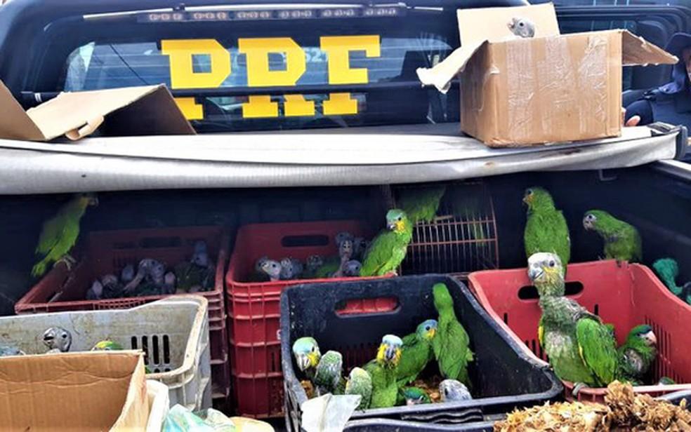 Entre as aves resgatadas estão filhotes de papagaio — Foto: Divulgação/PRF