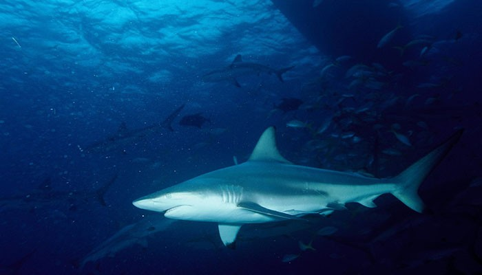 O dente encontrado pertencia a um tubarão-galha-preta (Foto: Wikimedia Commons)