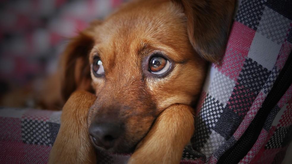 Ao erguer as sobrancelhas, cachorros ficam mais parecidos com filhotes e atraem a atenção dos humanos — Foto: Reprodução/Pixabay
