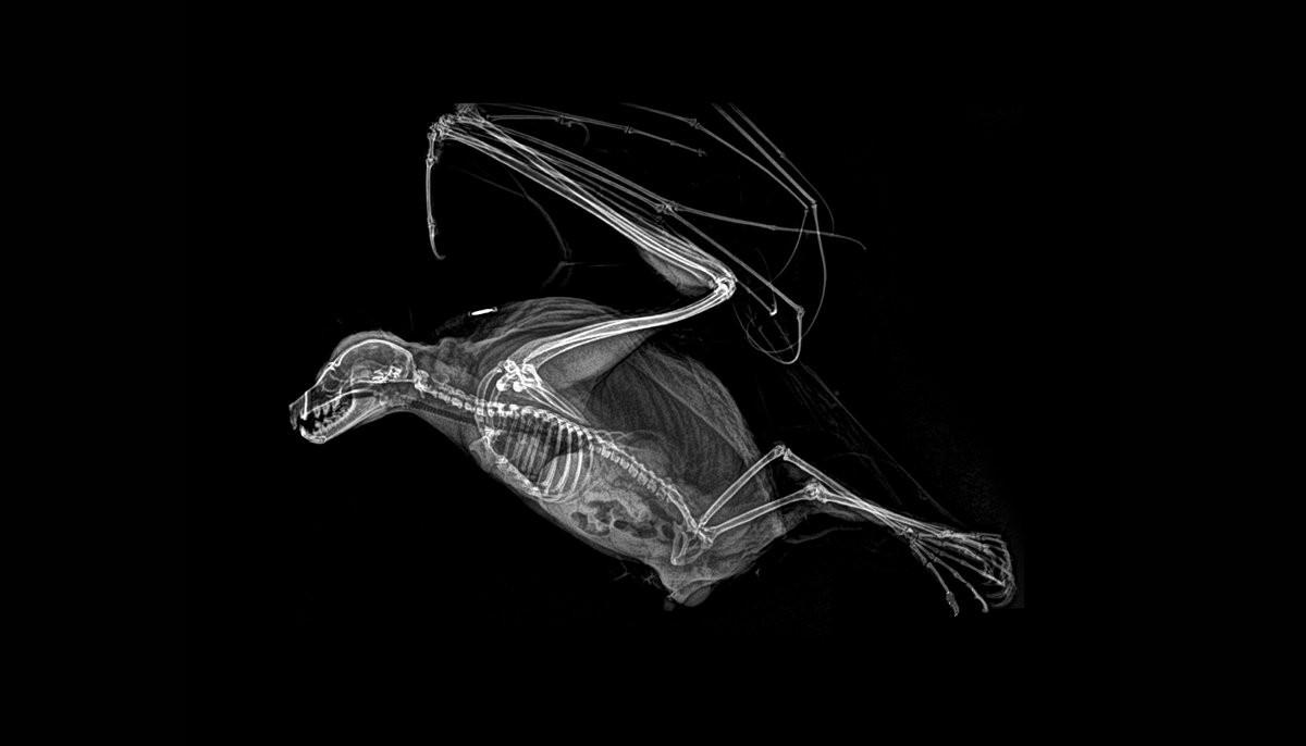 Raposa voadora (Foto: Oregon Zoo/Reprodução)