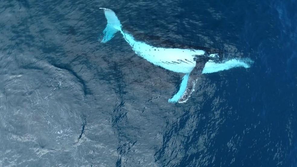 Baleia jubarte em águas brasileiras, mesma espécie que foi vista na Austrália. — Foto: Reprodução/ TV Gazeta