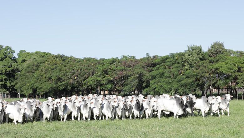 pecuaria-gado-nelore (Foto: Divulgação/Fazenda Terra Boa)