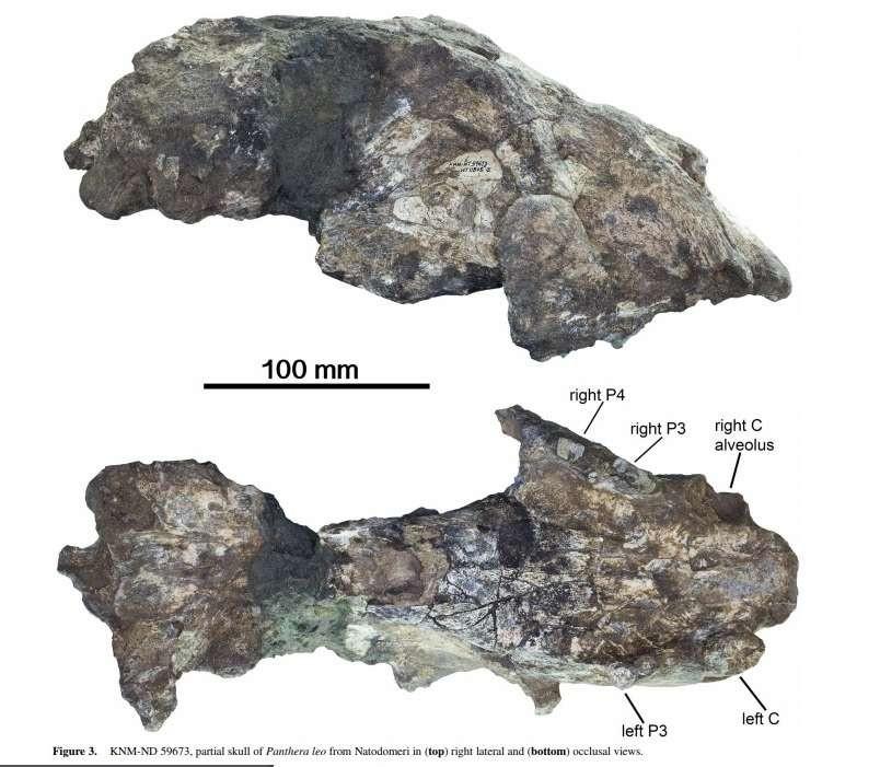 Fóssil de leão encontrado no Quênia (Foto: Reprodução/Journal of Paleontology)