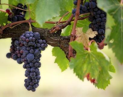 Colheita de uva do RS deve ser quase 9% maior em 2021