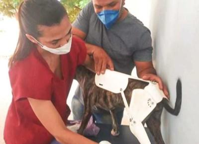 Amora, cadelinha de rua com órtese feita de cano de PVC pelo estudante de medicina veterinária, Edinaldo Pereira (Foto: Assessoria de Imprensa Loures)