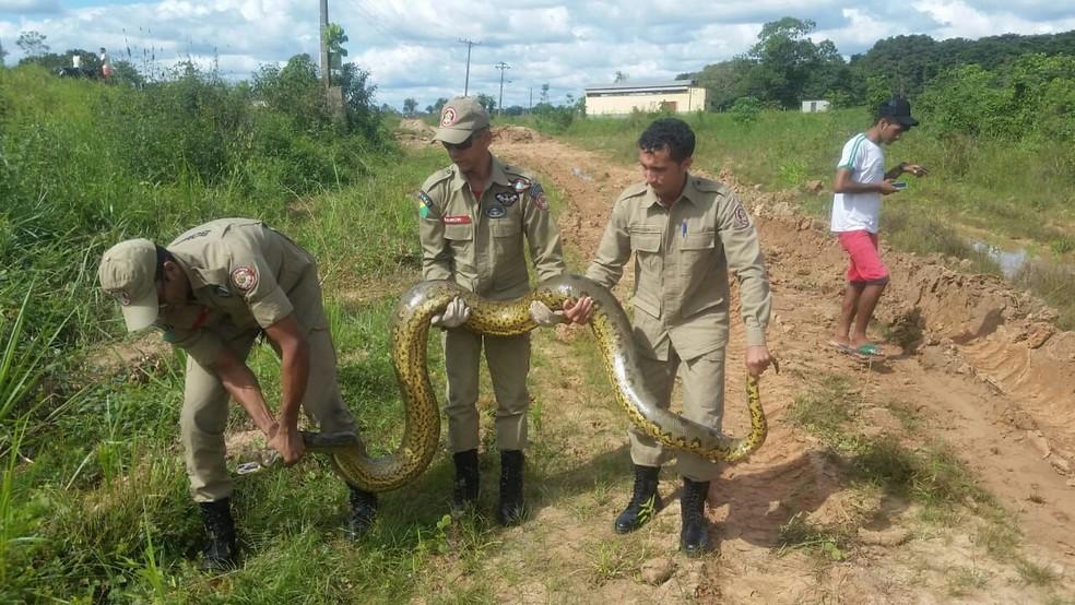 Sucuri foi resgatada e devolvida para a natureza, segundo Bombeiros (Foto: Divulgação/Corpo de Bombeiros)