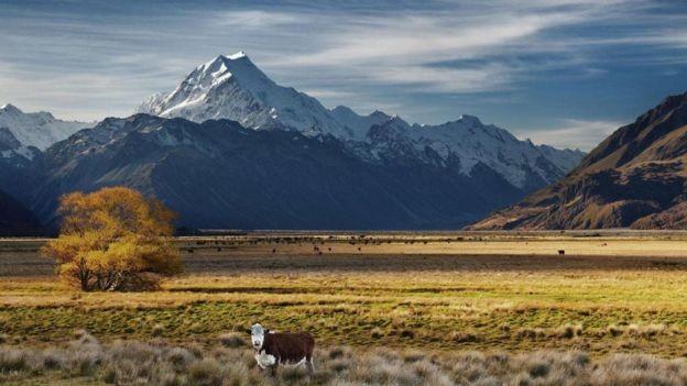 A Nova Zelândia está entre os principais emissores de carbono per capita principalmente devido a suas emissões de metano devido à grande indústria de gado e ovelha (Foto: Alamy/ Via BBC)