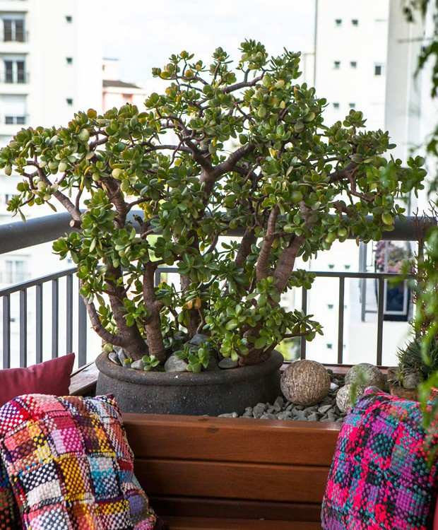 Suculenta-paisagista-paula-galbi-planta-jade (Foto: Edu Castello/Editora Globo)