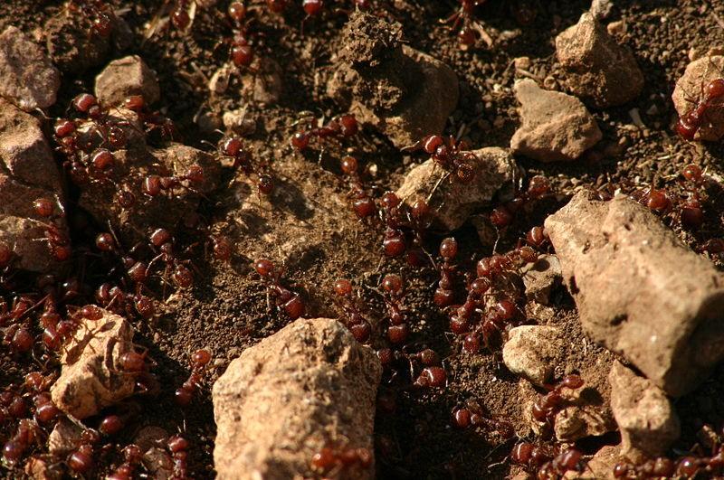 Colônia de formigas processa memórias quase como o cérebro humano  (Foto: Wing-Chi Poon/Wikimedia Commons)