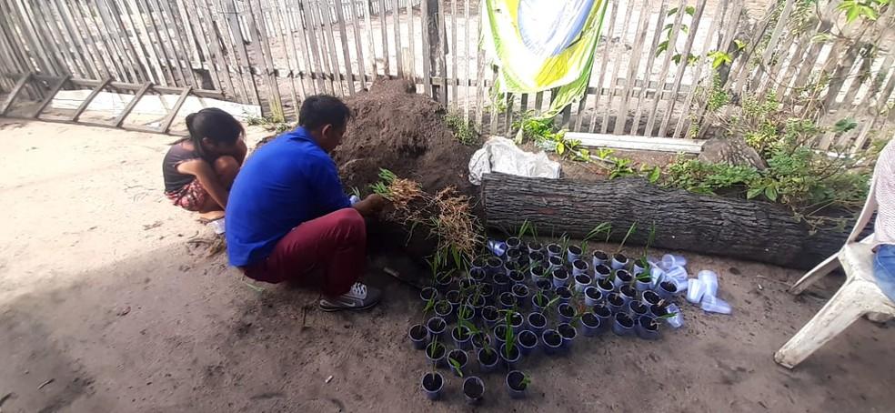 2 mil mudas de açaí serão plantadas no Juá — Foto: Divulgação