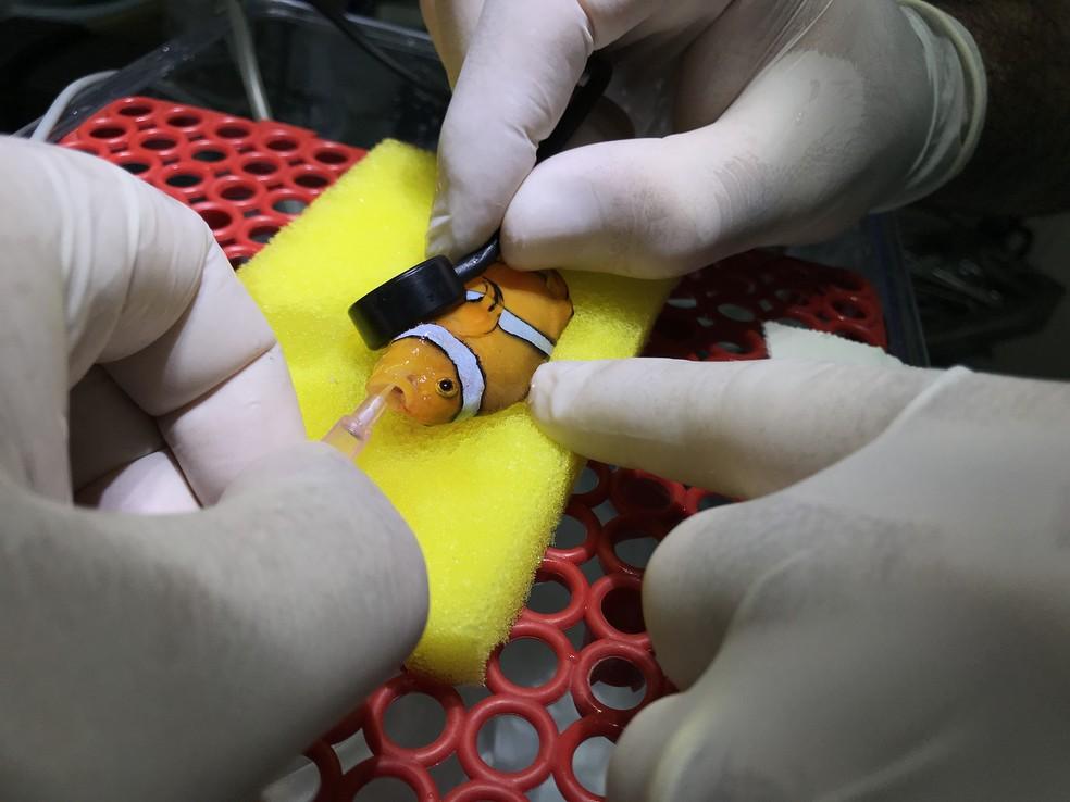 Peixe-palhaço passou por cirurgia nesta terça-feira (30) em São Paulo (SP) (Foto: Arquivo Pessoal/Divulgação)