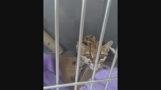 Gato-maracajá é solto em Anchieta após reabilitação; FOTOS