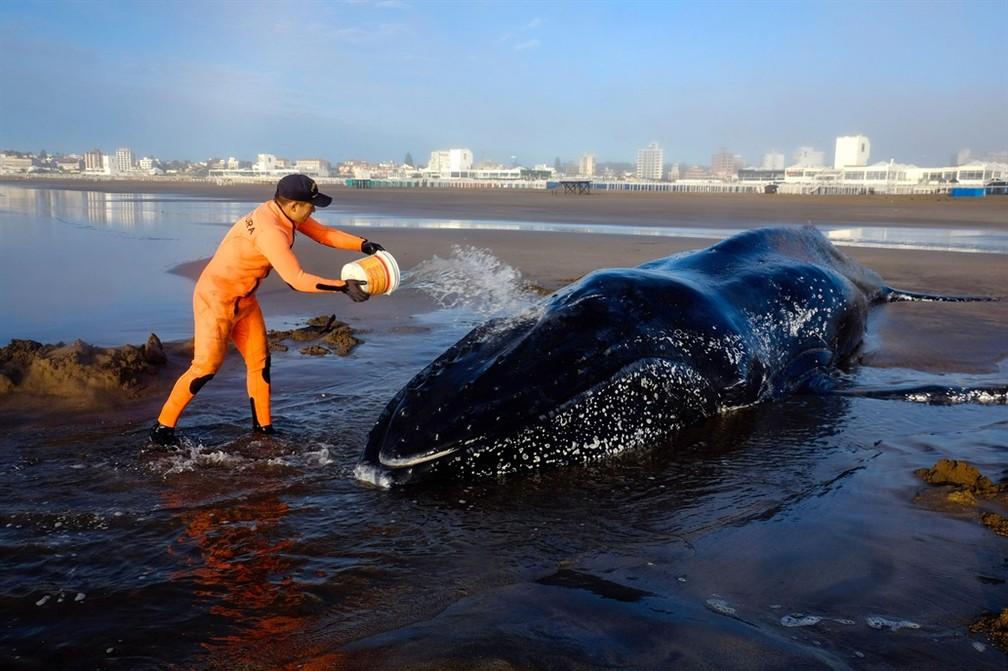 Baleia Jubarte encalha na argentina. Baleia pesa em torno de 10 tonelada e deve ter 4 anos  (Foto: Telám)