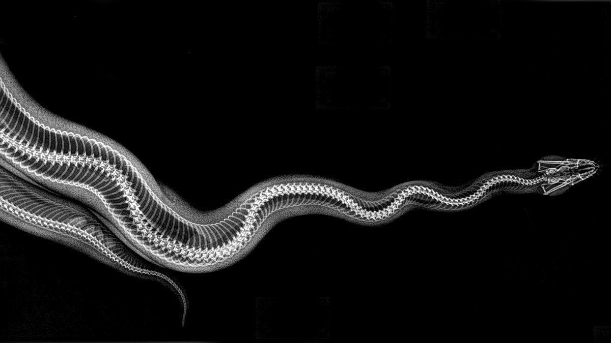 Cobra píton (Foto: Oregon Zoo/Reprodução)