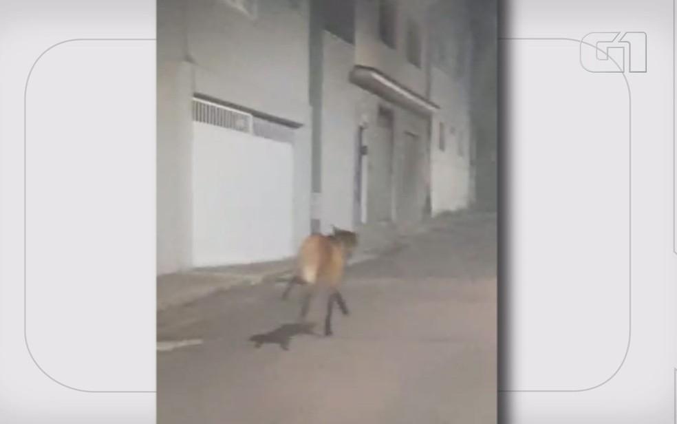 Lobo-guará é flagrando correndo em ruas do Centro deVarginha — Foto: Francyne Andrade