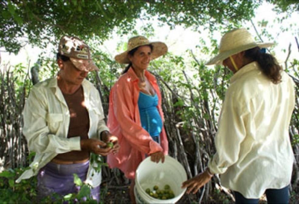 Agricultoras da Coopercuc trabalhando na colheita de umbu — Foto: Divulgação/Coopercuc