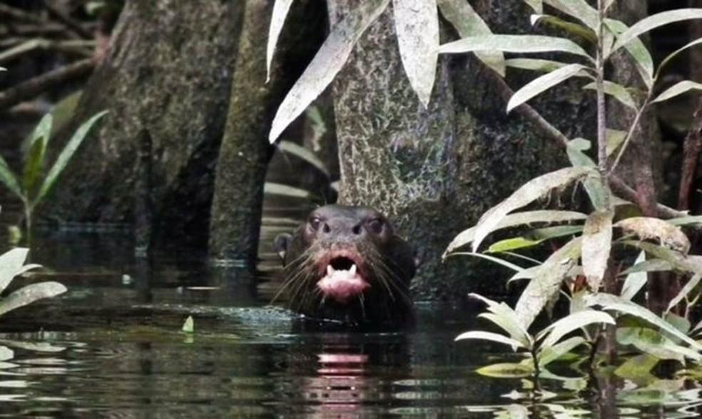 Ariranha na bacia do rio Içana, onde espécie havia desaparecido por volta dos anos 1940 (Foto: NATÁLIA PIMENTA/BBC)