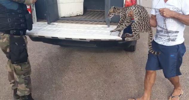 Morador de vila rural que criava gato selvagem há 1 ano entrega animal ao Ibama; VÍDEO