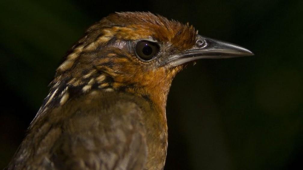 Estudo envolveu espécies como Cyphorhinus arada-uirapuru-verdadeiro — Foto: Philip Stouffer/BBC