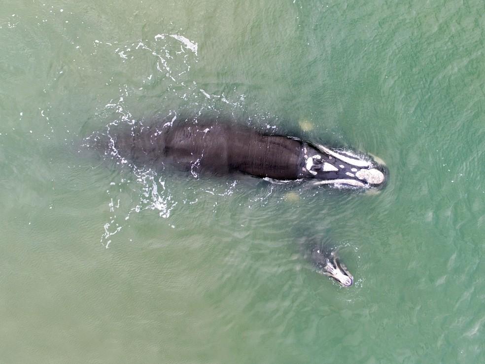 Baleias foram avistadas em Imbituba durante monitoramento realizado por estagiários do projeto ProFranca — Foto: Instituto Australis/ProFRANCA