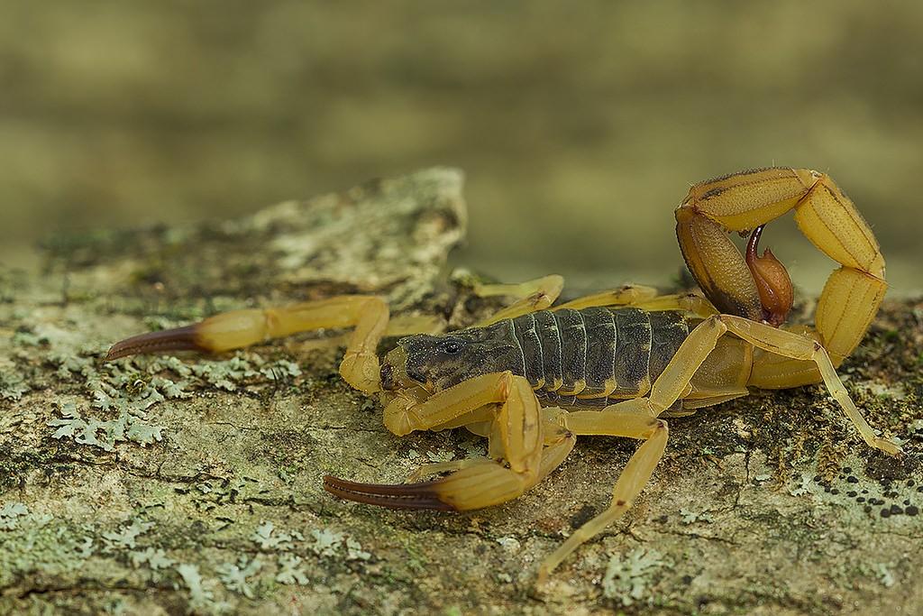 Escorpião amarelo venenoso (Tityus serrulatus) (Foto: Flickr/José Roberto Peruca/Creative Commons)