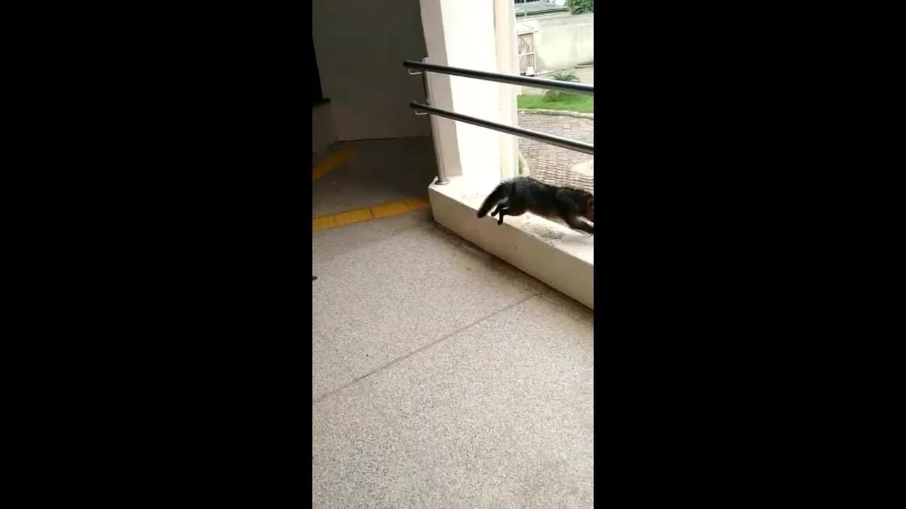 Raposa é flagrada no Fórum da Justiça em Jaru, RO