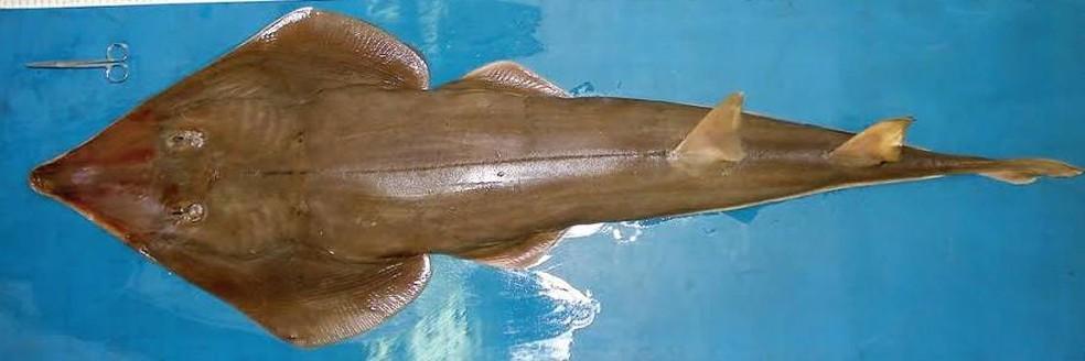 Raia-viola, espécie ameaçada de extinção, foi encontrada no porão de uma embarcação brasileira este ano.  — Foto: Divulgação/ Polícia Ambiental