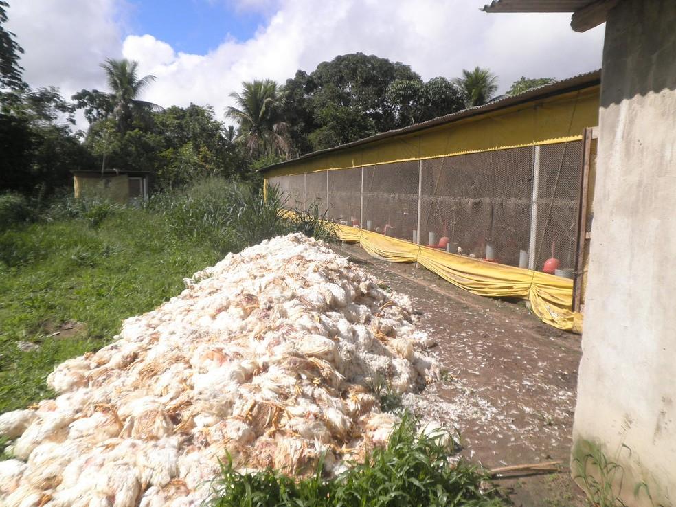 MIlhares de frangos morreram em granjas na Ba (Foto: Divulgação/ABA)