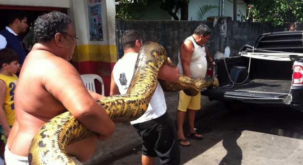 Cobra de aproximadamente 6m de comprimento — Foto: Tiago Melo/G1 AM
