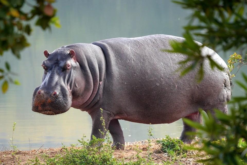 Em uma ocasião, hipopótamos se confundiram a foram dormir durante um eclipse lunar (Foto: Pixabay)