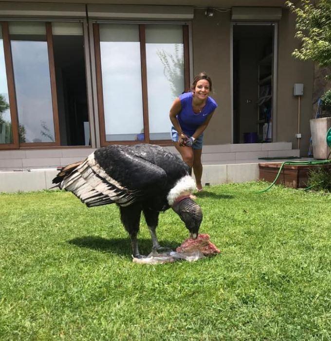 Condor invade quintal e devora pacote de carne em Santiago do Chile; veja vídeo