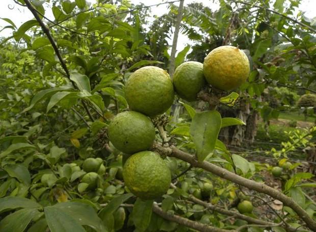 Fruta Guirajoibá (Foto: Hélton Josué Teodoro Muniz/Divulgação)